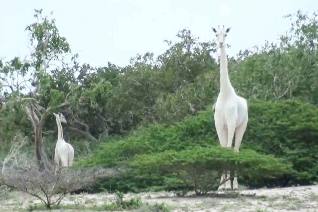 خبرنگاران شکار دو زرافه نادر سفید در کنیا